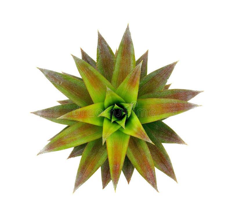 Лист ананаса изолированные на белой предпосылке стоковое фото rf