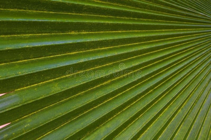Лист ладони зеленого цвета предпосылки текстуры стоковая фотография rf