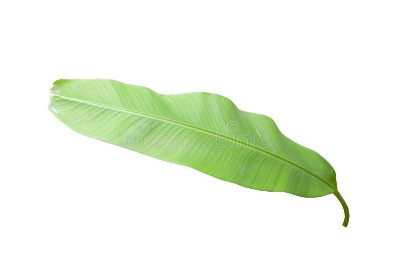 Лист банана изолированные на белой предпосылке стоковое изображение rf