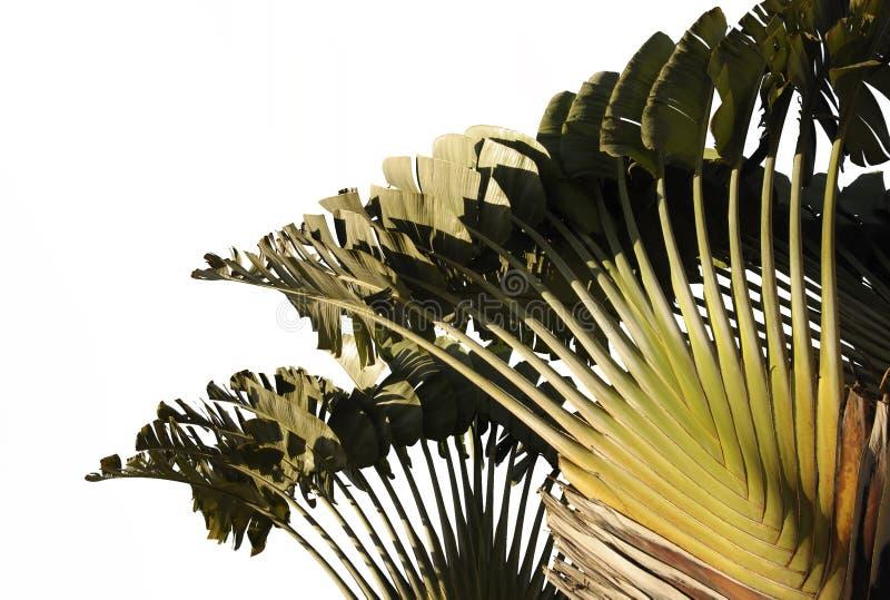 Лист банана изолированные на белой предпосылке с путем клиппирования стоковое фото rf