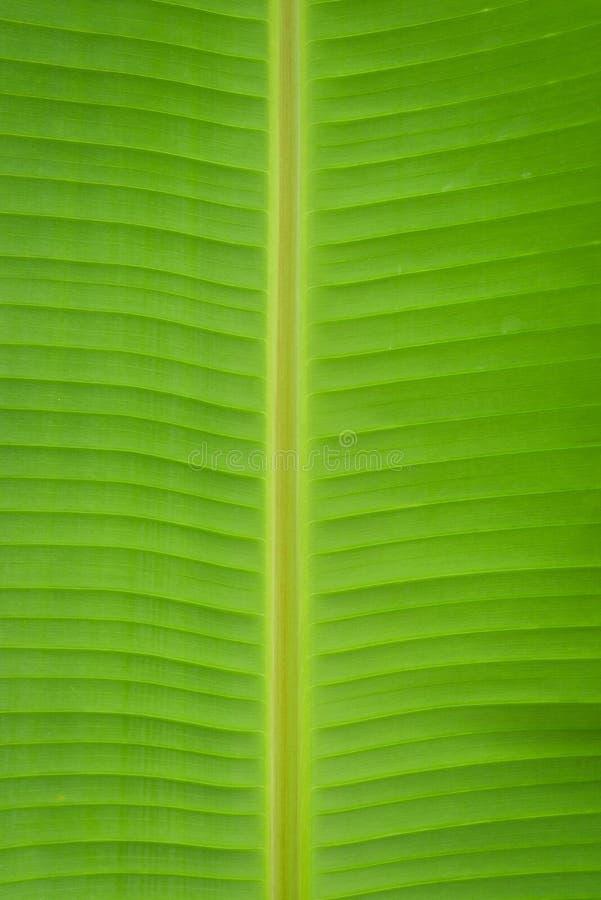 лист банана стоковые фотографии rf