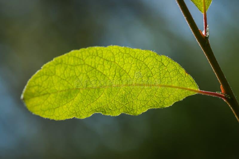 Лист вербы - конец-Вверх - glauca Salix стоковые изображения rf