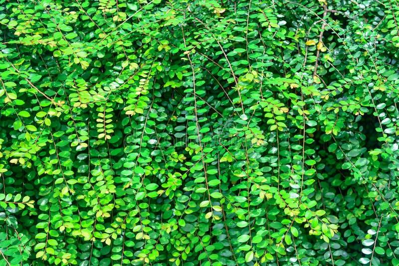 Лист Вьетнама - расти цветка в тропическом саде стоковые фотографии rf