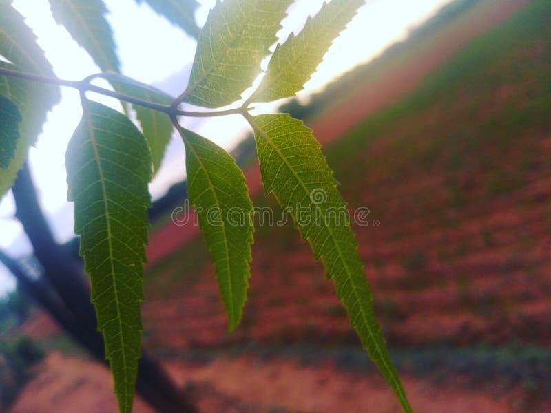 Лист дерева Neem стоковые изображения rf