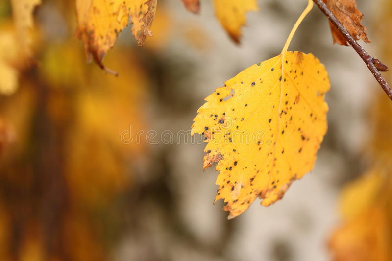 Лист дерева березы мычки в осени стоковое изображение