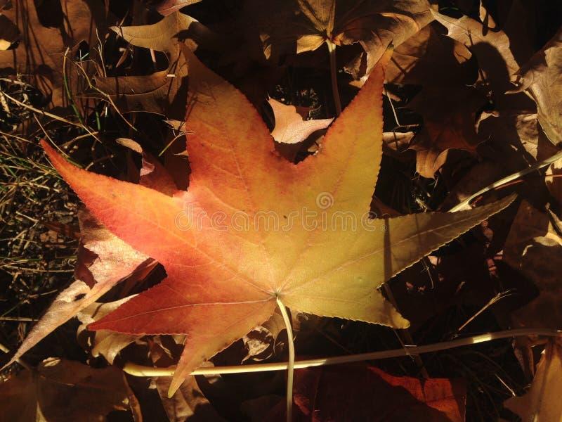 Лист дерева Styraciflua Liquidambar на том основании осенью стоковые фотографии rf