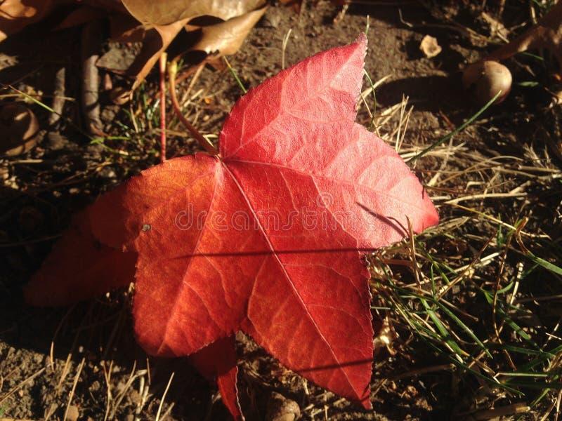 Лист дерева Styraciflua Liquidambar на том основании осенью стоковое фото rf