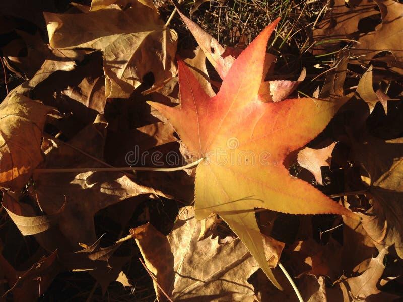 Лист дерева Styraciflua Liquidambar на том основании осенью стоковая фотография rf