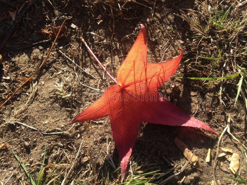 Лист дерева Styraciflua Liquidambar на том основании осенью стоковое изображение