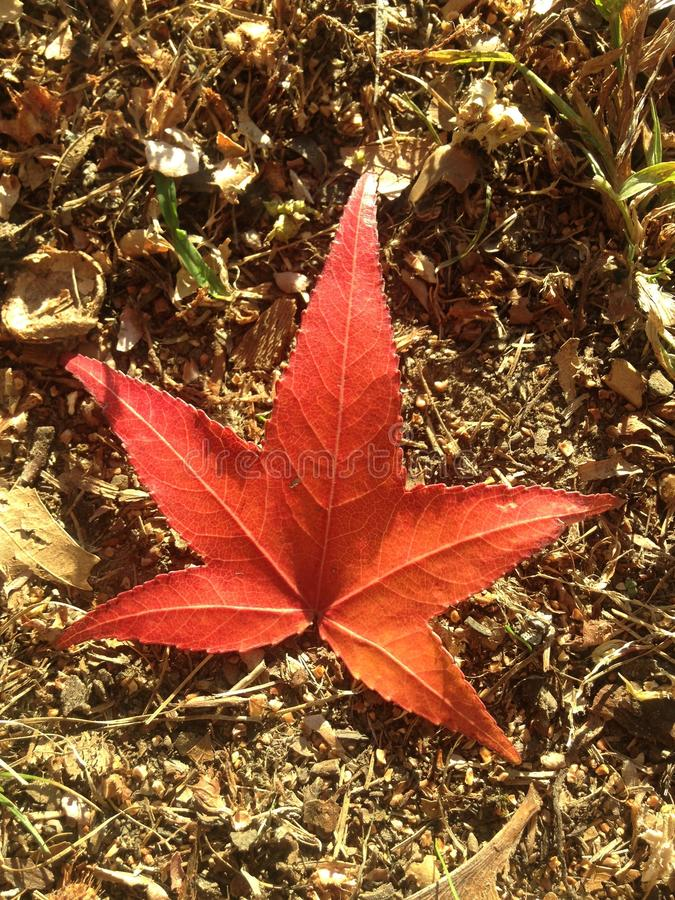 Лист дерева Styraciflua Liquidambar на том основании осенью стоковая фотография