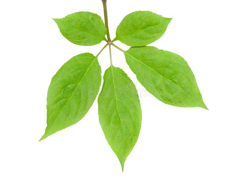 Лист женьшени 4 стоковое фото rf