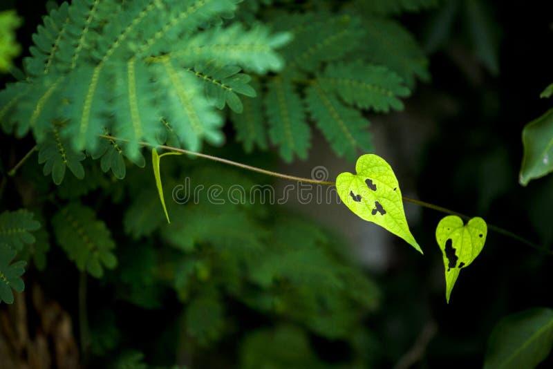 Лист завода смешной, страшной, или возможно тягостной формы сердца взбираясь показанные ему сторону зеленого цвета на темной ой-з стоковое изображение rf