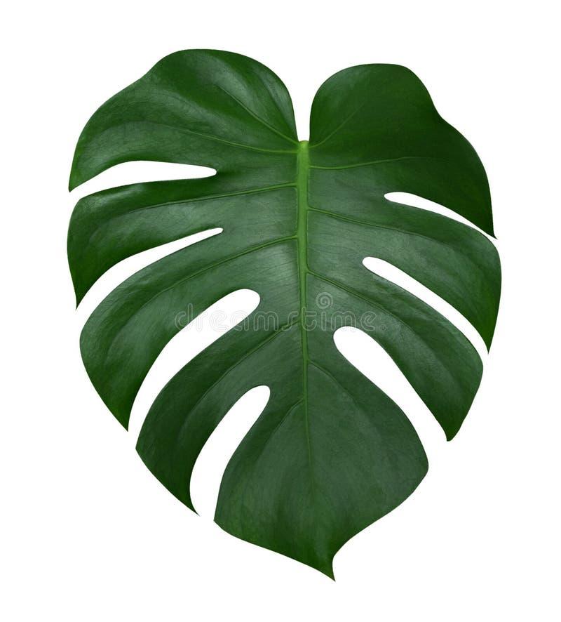 Лист завода Monstera, тропическая вечнозеленая лоза изолированная на белой предпосылке, пути стоковые фотографии rf