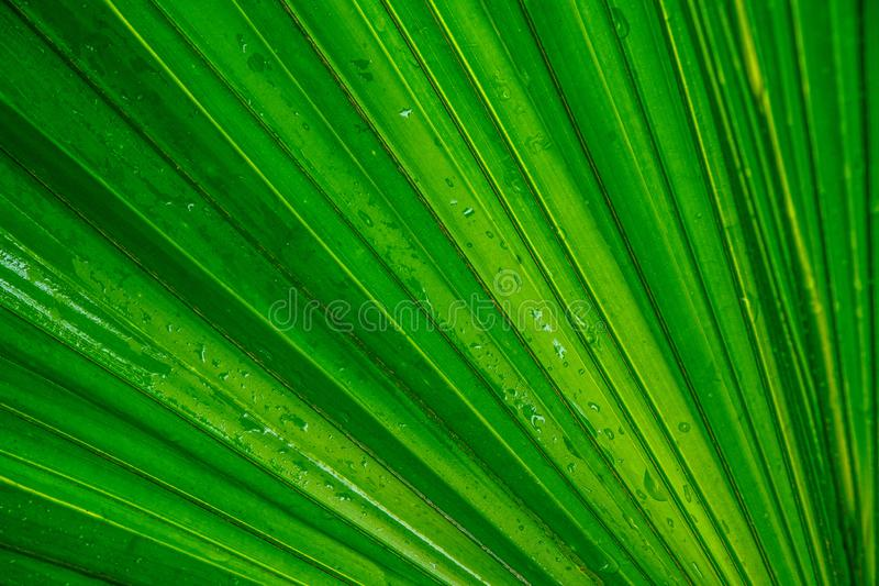 Лист зеленого цвета пальмы, предпосылка стоковые изображения rf