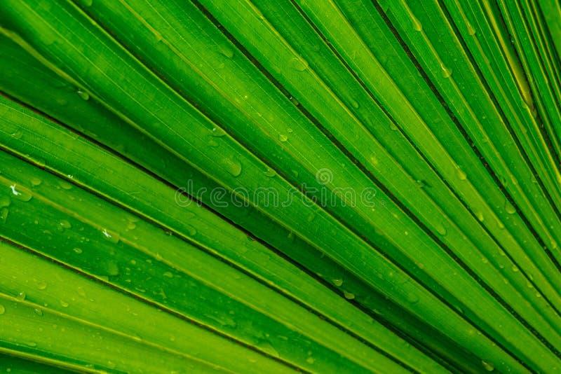 Лист зеленого цвета пальмы, предпосылка стоковое фото rf