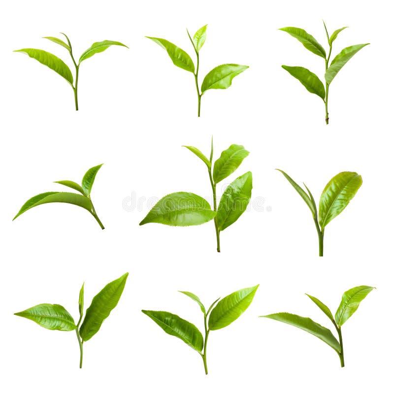 Лист зеленого чая изолированные на белой предпосылке стоковая фотография