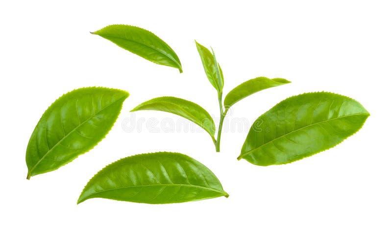 Лист зеленого чая изолированные на белой предпосылке стоковое изображение rf