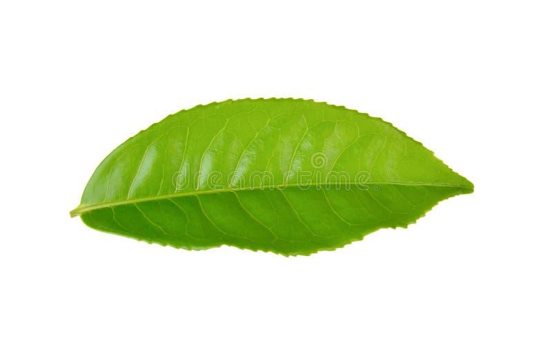 Лист зеленого чая на белой предпосылке стоковое фото