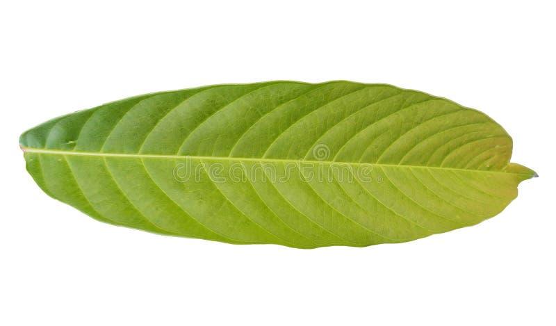 Лист зеленой листвы тропические на белых предпосылках иллюстрация штока
