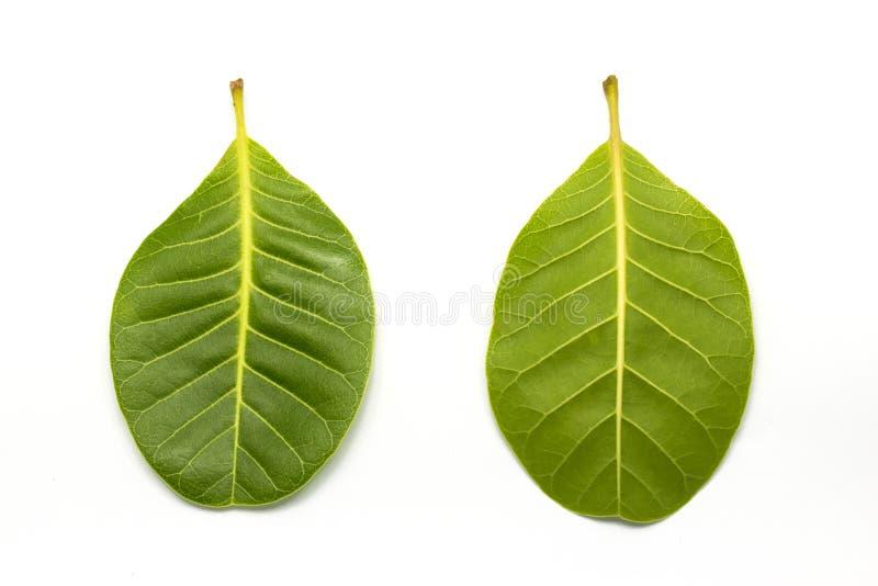 Лист зеленого цвета гайки анакардии на белизне стоковое изображение rf