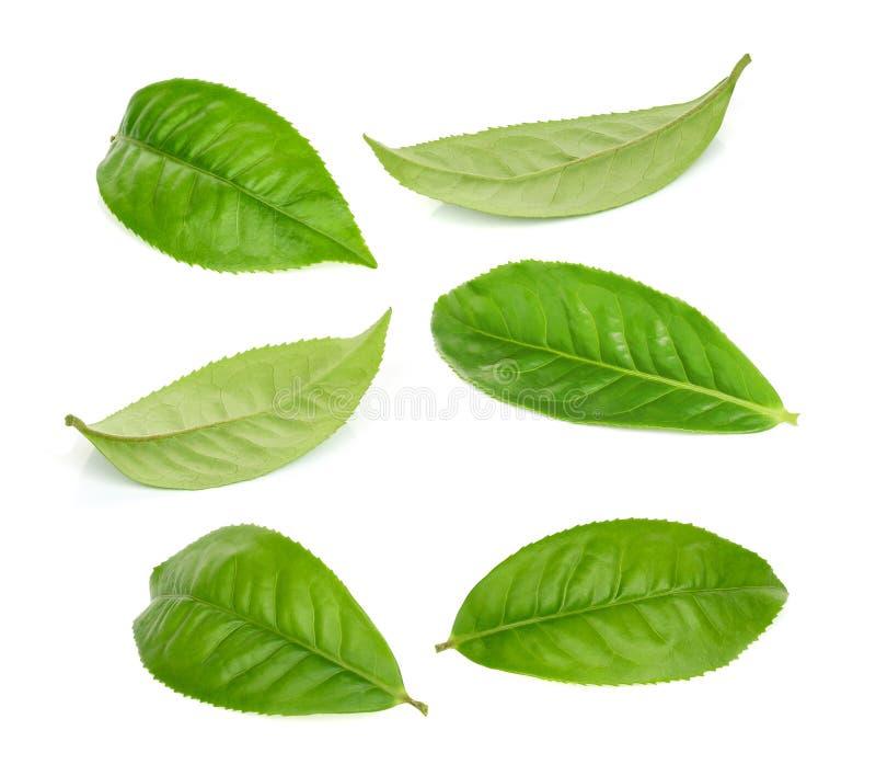 Лист зеленого чая изолированные на белизне стоковое изображение rf