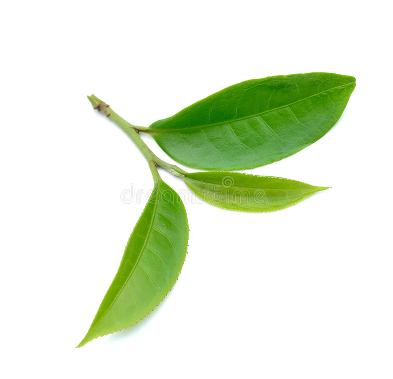 Лист зеленого чая изолированные на белой предпосылке стоковая фотография rf