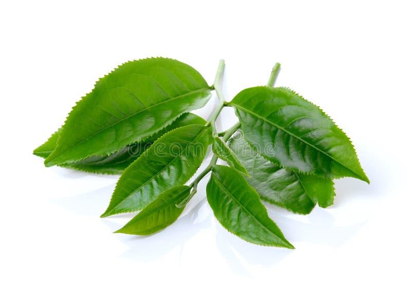 Лист зеленого чая на белой предпосылке стоковые изображения