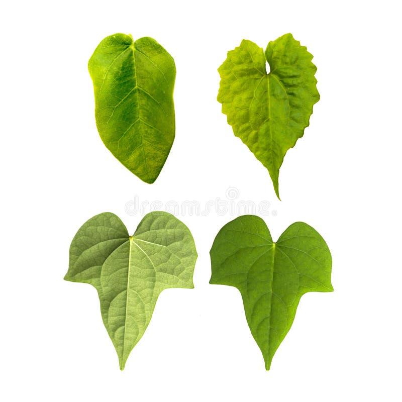 Лист изолированные на белой предпосылке с путем клиппирования Листья используют для щетки и декоративный стоковое изображение