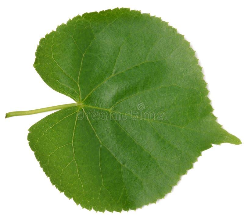 листья липа в картинках кузову есть