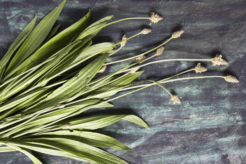 Лист и цветок подорожника Ribwort стоковые фотографии rf