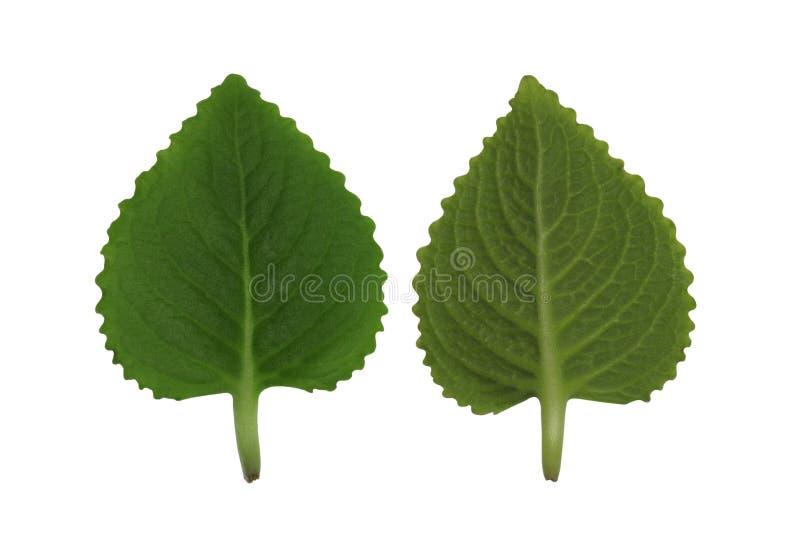 Лист кактуса на белой предпосылке стоковые фото