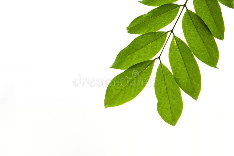 Лист крупного плана зеленые изолированные на белой предпосылке файла с путем клиппирования стоковое изображение
