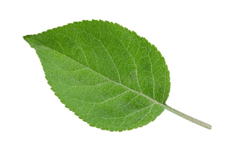Лист крупного плана плодоовощ Яблока стоковое фото rf