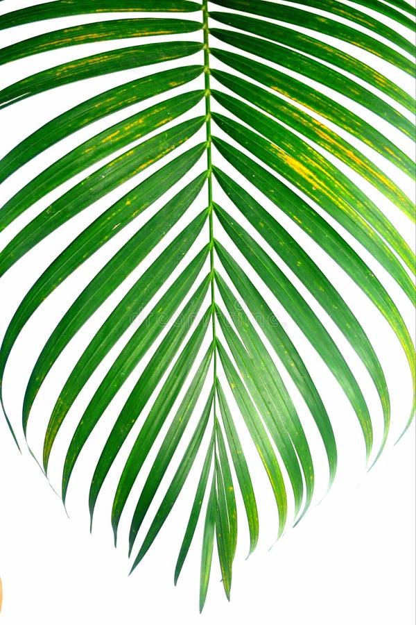 Лист ладони на белой предпосылке стоковое изображение