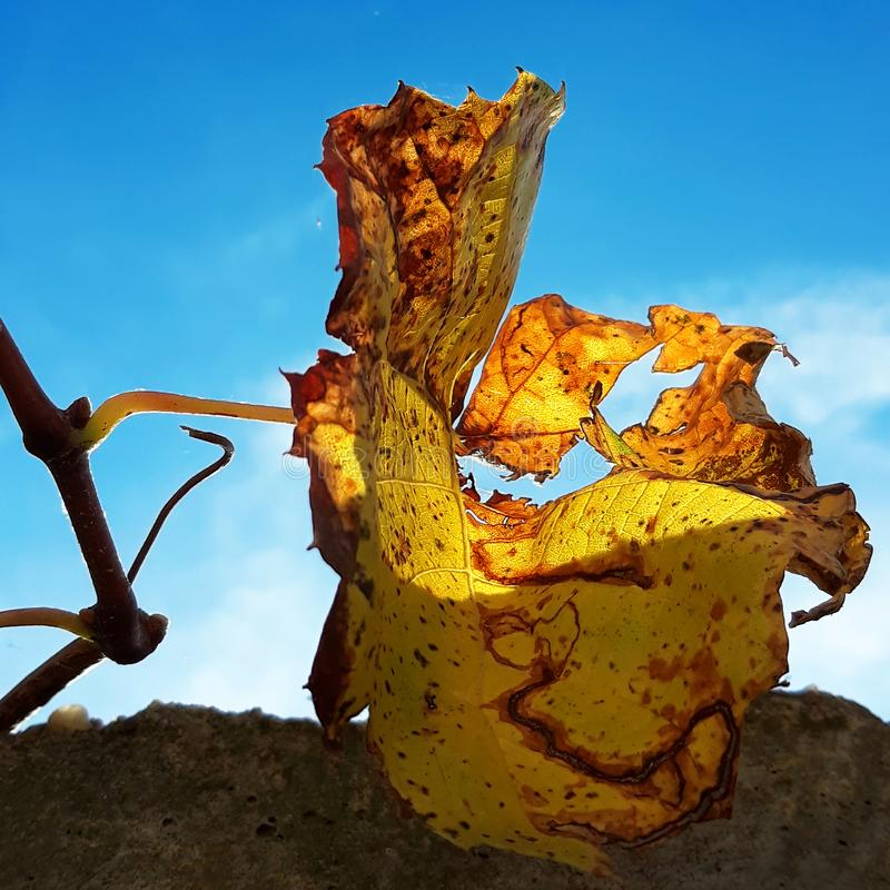 Лист лозы осени в солнечном свете стоковое фото