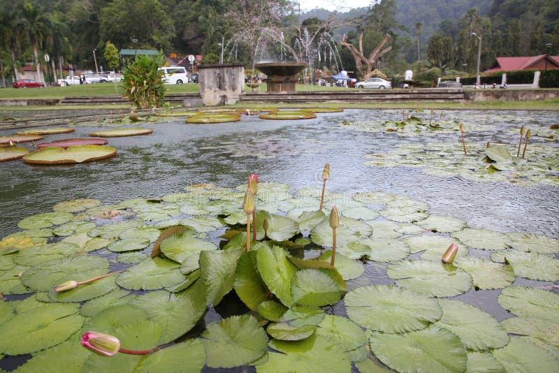 Лист лотоса в бассейне стоковые фотографии rf