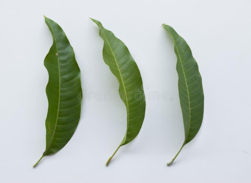 Лист манго стоковое фото rf