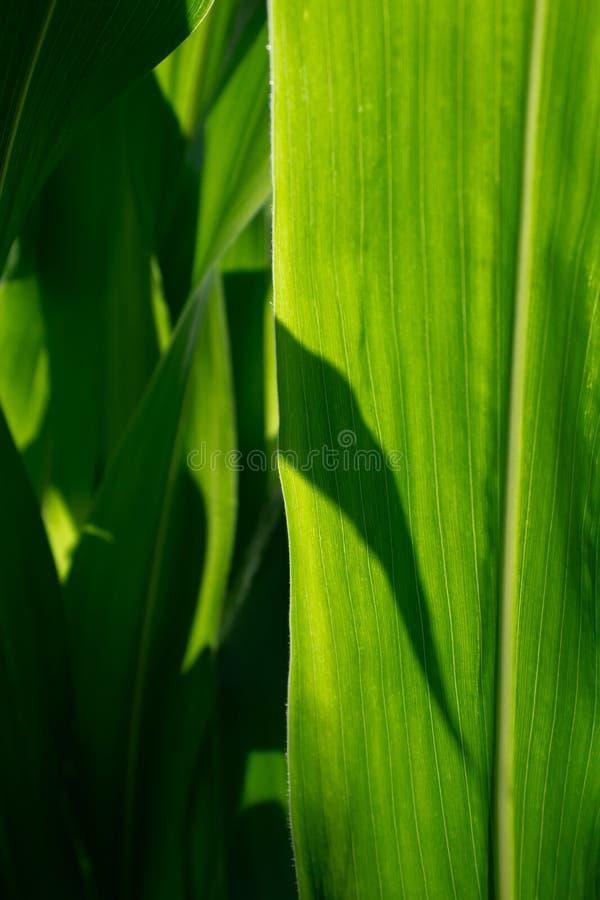Лист мозоли зеленые в солнечном свете на фото макроса стоковые изображения
