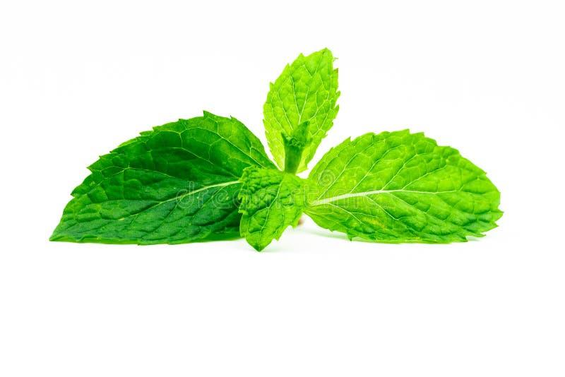 Лист мяты кухни изолированные на белой предпосылке Источник зеленого пипермента естественный масла ментола Тайская трава для еды  стоковое фото