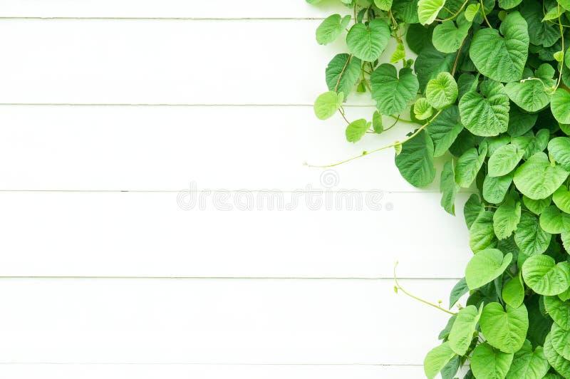 Лист лозы фона на белой деревянной стене с космосом экземпляра стоковое изображение rf