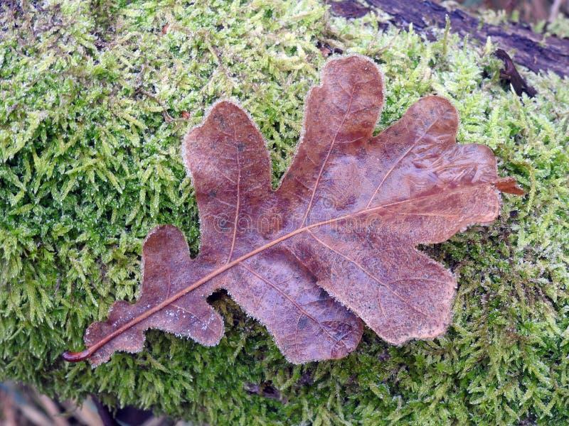 Лист осени Брауна на мхе, Литве стоковые изображения rf