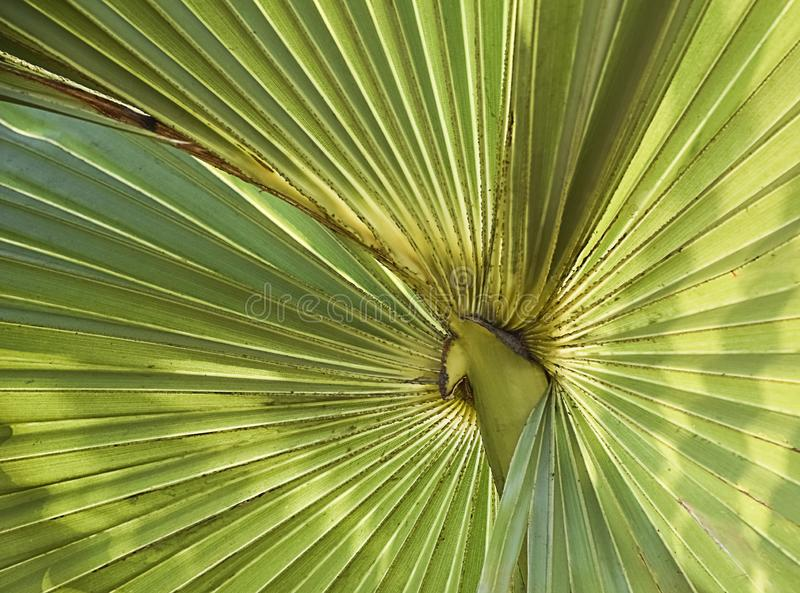 Лист пальмы излучая как лучи вне от центра в солнечном дне с лучами Солнца падая на лист в макросе крупного плана стоковые фото