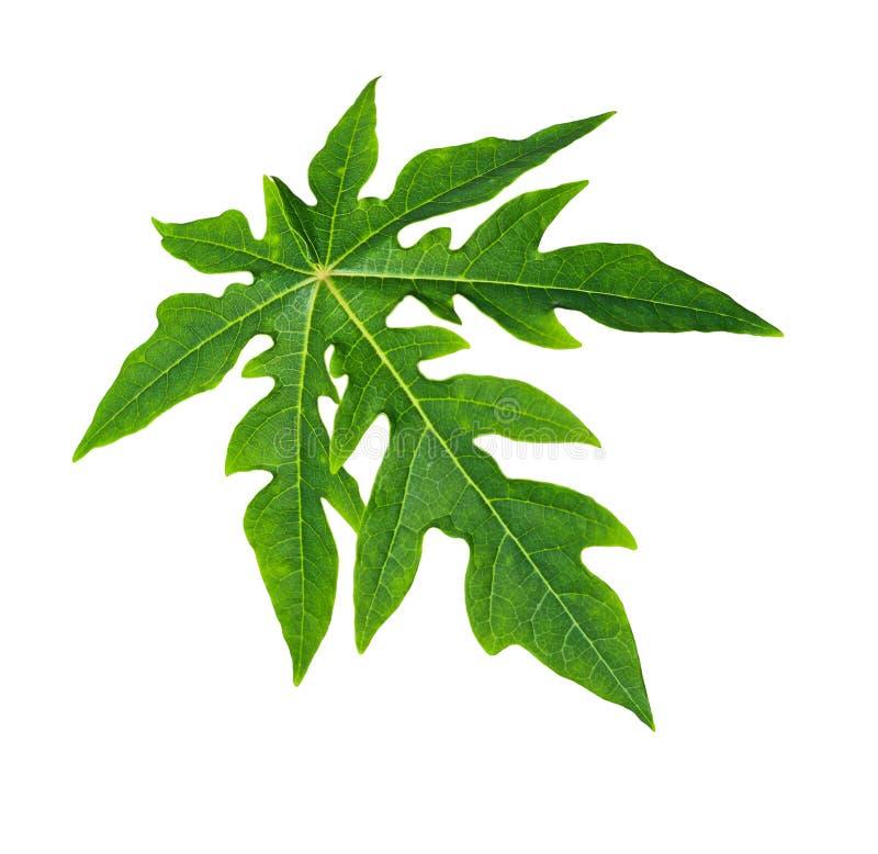 Лист папапайи стоковое фото rf