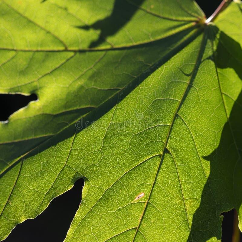 Лист плоского дерева подсвеченные солнцем осени, крупным планом стоковое фото