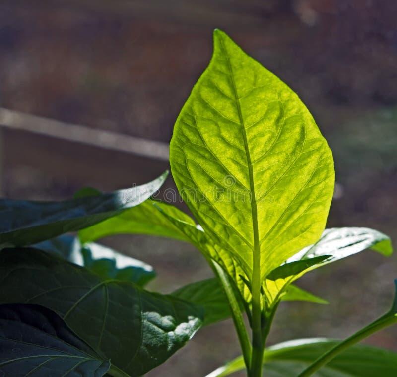 Лист саженца зеленого перца осветили по солнцу стоковые изображения rf