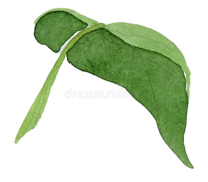 Лист солнцецвета акварели зеленые Флористический ботанический цветок Изолированный элемент иллюстрации стоковые изображения rf