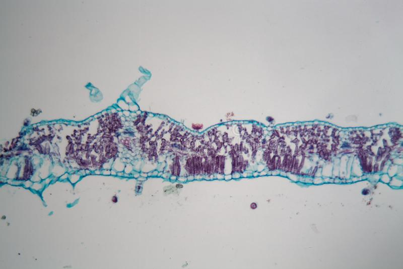 Лист солнцецвета под микроскопом стоковое изображение