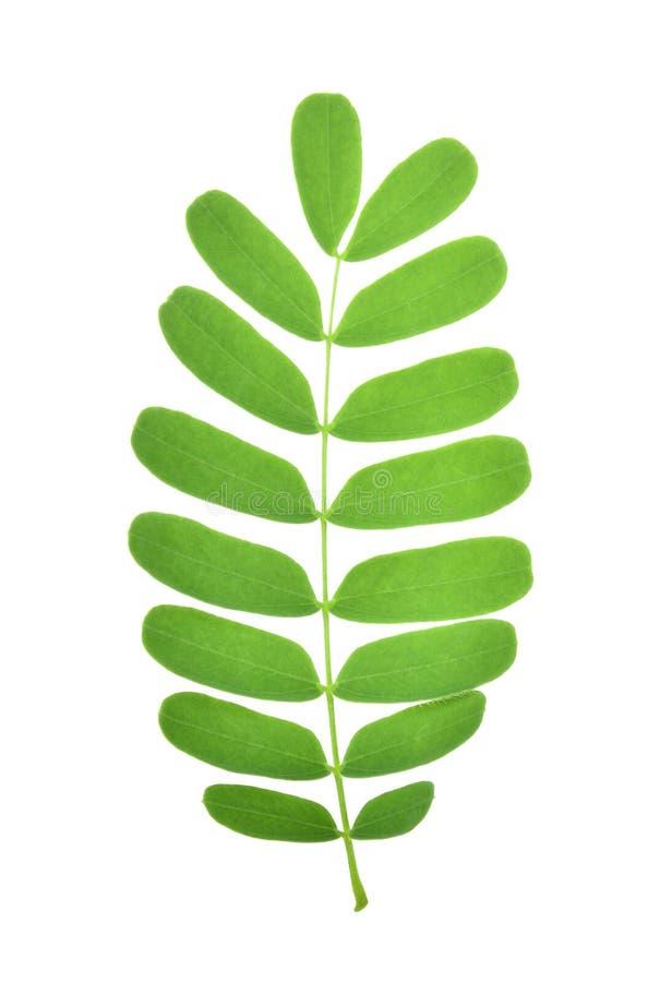 Лист тамаринда изолированные на белой предпосылке стоковое фото rf