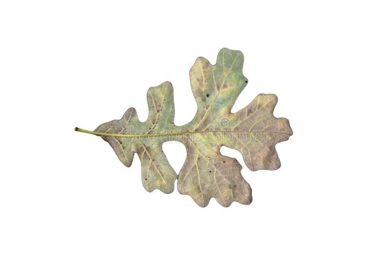 Лист дуба стоковое фото
