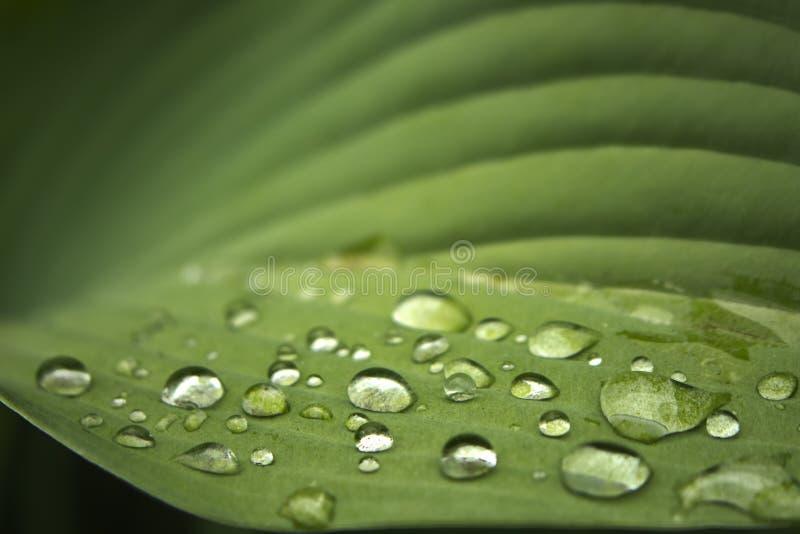 Лист хосты с капельками воды стоковое изображение rf